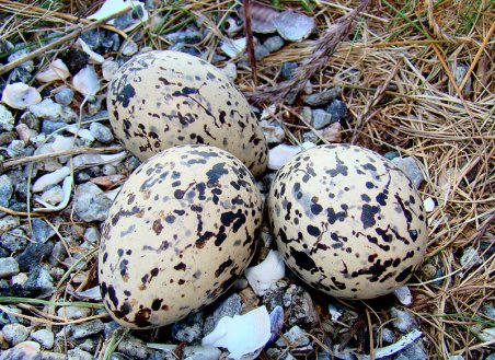 Eurasian Oystercatcher eggs