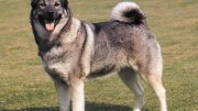About Norwegian Elkhound