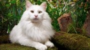 About Norwegian Forest Cat