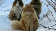 All About Norwegian Forest Cat