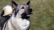 Norwegian Elkhound Genetic Diseases
