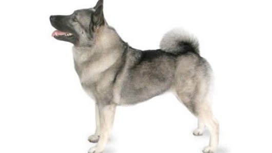 All About Norwegian Elkhound