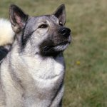 Breed All About it Norwegian Elkhound