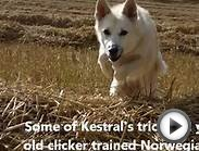 20 Fun Tricks - Norwegian Buhund