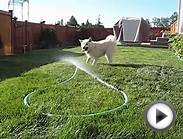 Kahsha - Norwegian Buhund Plays with the water hose