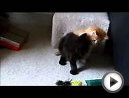 LarSoyuz Norwegian Forest Kittens Playing