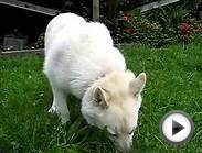 Norwegian Buhund Kahsha Eating Peanut Butter