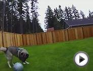 Norwegian Elkhound playing soccer