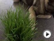 Norwegian Elkhound playing with patch of organic grass