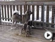 Norwegian elkhound puppies playing with mum