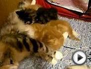 Norwegian Forest Cat Kittens - Red Canyon Cats Kittens-5