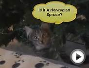 Norwegian Forest Cats Ash & Cassie Meet The Christmas Tree