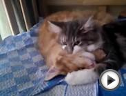 Norwegian forest kittens - Ear wash time!