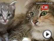 Norwegian Forest kittens - video 5