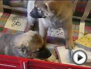Peewee & Paisley-Norwegian Elkhound Mix Puppies