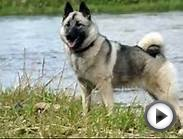 Top 10 Amazing Facts About Norwegian Elkhounds